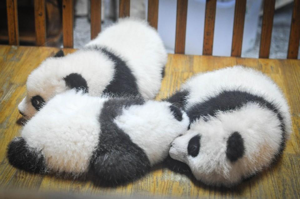 Panda - Tele van a hírek pandákkal és a megmentésükért folytatott harccal, ám ennek ellenére igen csekély a tudásunk és a valóság ismeretünk a pandákal kapcsolatban.