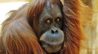Több mint 100 000 orangután pusztult el - TUDOMÁNYPLÁZA