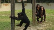 Csimpánzok tanítják a gépeket