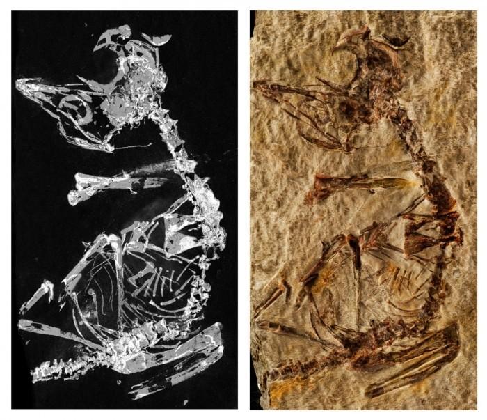 127 millió éves madárfióka