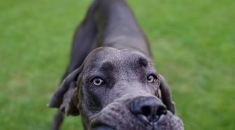 Közismert, hogy a kutyák szaglása jobb, mint az embereké.