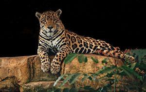Jaguár vs. leopárd - jaguár