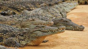 Aligátor vs. krokodil - krokodil