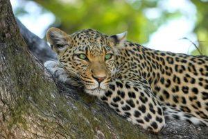 Jaguár vs. leopárd - leopárd