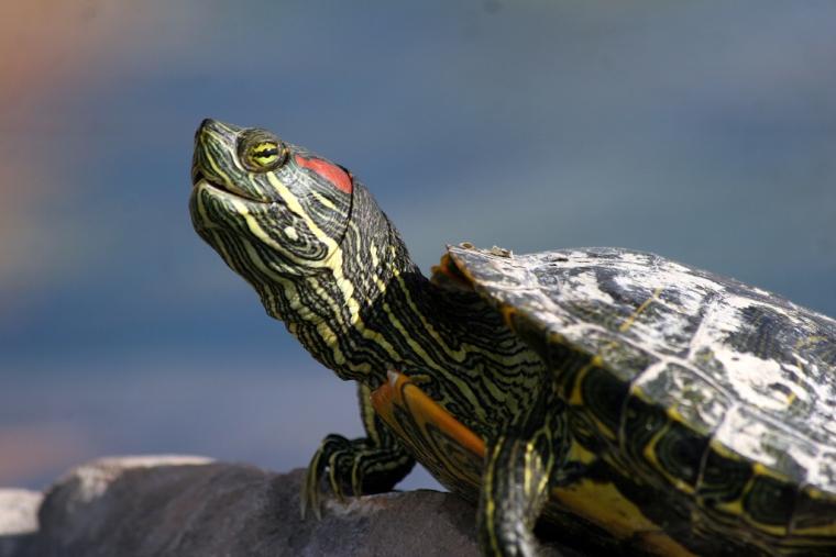 Egy nemzetközi kutatócsoport izolálta azt a gént, amely a keltetési idő az alatt uralkodó hőmérséklet függvényében határozza meg a tojásból kikelő teknősök nemét.