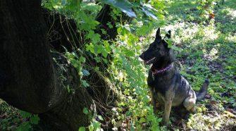 Cobra, a 3 éves Belga Malinois arra lett kiképezve, hogy kiszagolja a Laurel wilt betegséggel fertőzött fákat, még azelőtt, hogy a látható tünetek megjelennének. Ő és 2 holland juhászkutya megtalálják a tünetmentes, de fertőzött egyedeket. Ha egy beteg fát találnak, akkor leülnek mellé, jelezve, hogy beteg fát találtak. Fotó: Lara Cerri - Times