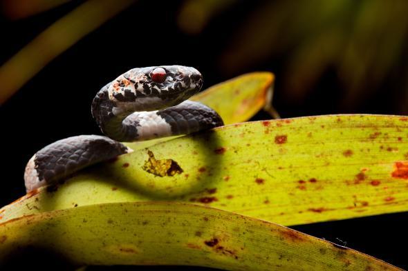Öt új csigaevő kígyófaj Közép- és Dél-Amerikában