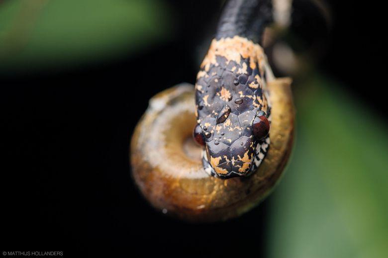 A csigaevő kígyóknak módosult állkapcsa van, hogy a csigák nyálkás testét ki tudják szívni a házukból.