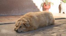 elhízott kutyák