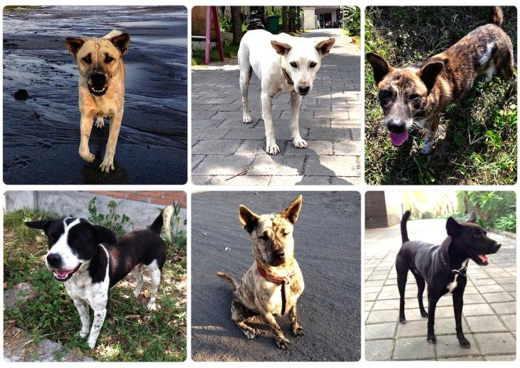 Bali kutyái - A turisták által is kedvelt szigetet egyre több idegen választja végleges otthonának, és a beköltözők egy része a helyi utcai kutyák közül választ magának társat.