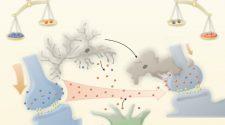 Kommunikáció az idegsejtek között - TUDOMÁNYPLÁZA