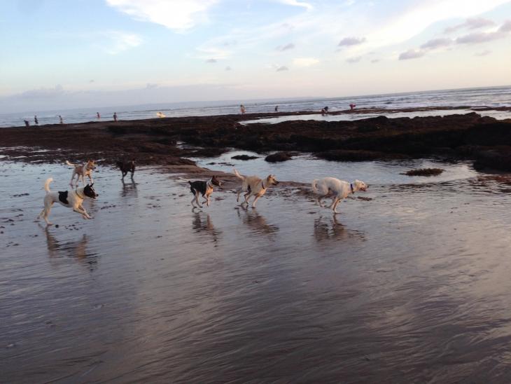 Szabadon élők - Bali kutyái