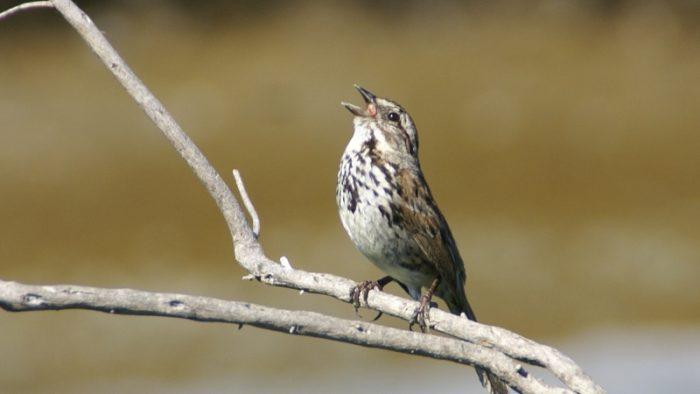 Hogyan kódoljuk a madarak titkos nyelvét? - énekesmadár