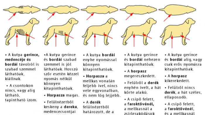 Egyre több a túlsúlytól szenvedő kutya