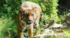 A sorozatos bűnelkövetők segíthetnek megmenteni a tigriseket