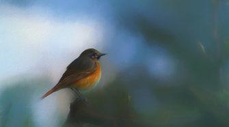Hogyan kódoljuk a madarak titkos nyelvét? - vörösbegy