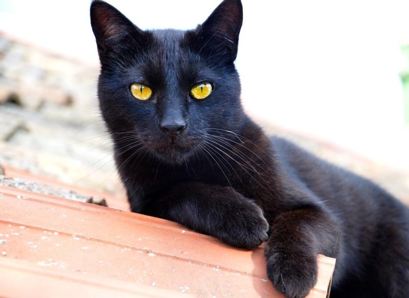 fekete macska a mitológiában, a mindennapokban és a mesékben