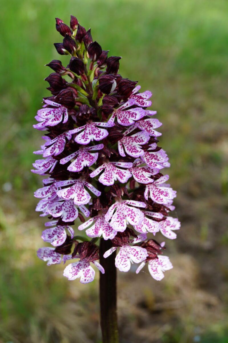 Bíboros kosbor, orchidea a virágok királynője.