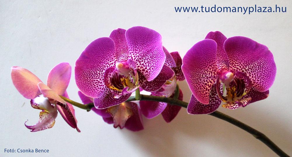 Saját kosbor orchidea a virágok királynője.