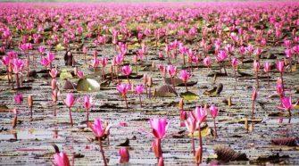 Thaiföldön található egy különleges tó a Vörös Lótusz-tenger.