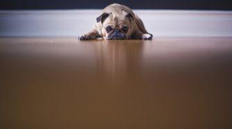 Szeparációs szorongás kutyák esetében