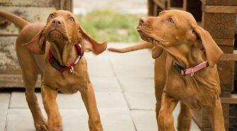 A magyar kutyafajták rendkívüliek, sokoldalúak és alkalmazkodóképességük is remek.