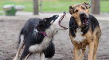 Dominanciaviszonyok a kutyák között