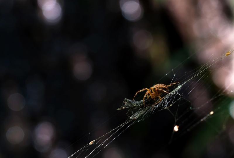Koronás keresztespók(Araneus diadematus)