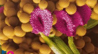 Mályva mikroszkóp alatt - Mikrovilág kiállítás – az élet kicsiben