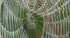 Van Magyarországon honos mérges pók?