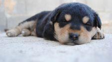 A kutyakölykök sírására felfigyelnek a felnőtt kutyák nemtől függetlenül