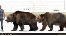 A modern ember őseinek 40 ezer évvel ezelőtti Európába érkezése egybeesett a barlangi medve számának gyors csökkenésével.