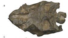 Általánosságban az Ngwevu abban különbözik az M. carinatus-tól , hogy sokkal robusztusabb koponyacsontja van, amint azt a csontok és a koponya hosszának különféle mérése mutatja