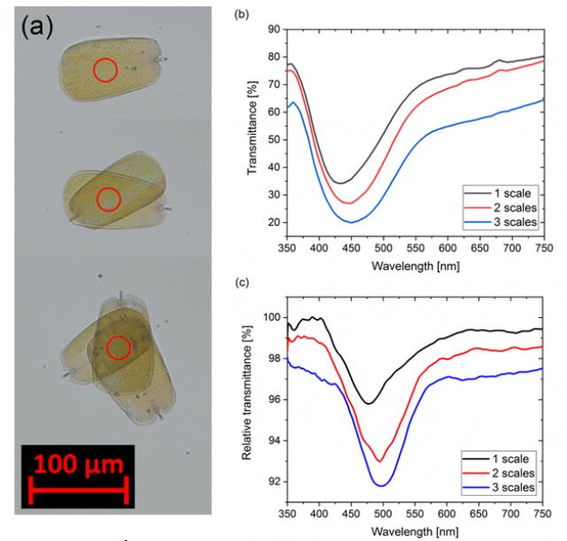 (a) Áteresztett fényben készült optikai mikroszkópos felvétel az Albulina metallica lepke egy, két és három egymásra helyezett szárnyfelszíni pikkelyeiről; (b) A pikkelyeken mért áteresztett fény spektruma; (c) A spektrum megváltozása alkoholgőzök jelenlétében Forrás: MTA EK MFA