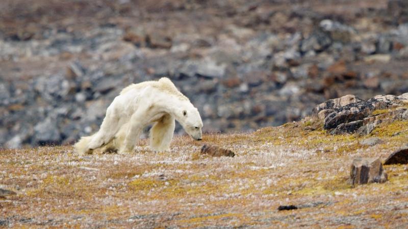 Sokak szerint Paul Nicklen fotós csontsovány jegesmedvéről készített képe erősen rontott a helyzeten.