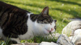 Miért esznek a macskák füvet?