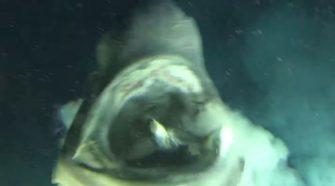 Egy titokzatos mélytengeri cápa híre járta be a világot nem régen.