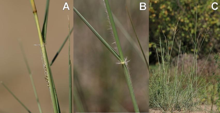 Sporobolus cryptandrus A növény virága (A), levélhüvelyének szőrkoszorúja (B) és habitusa (C) - Fotó: Aradi Eszter