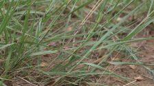 Homoki prérifű - a homokterületek új pestise