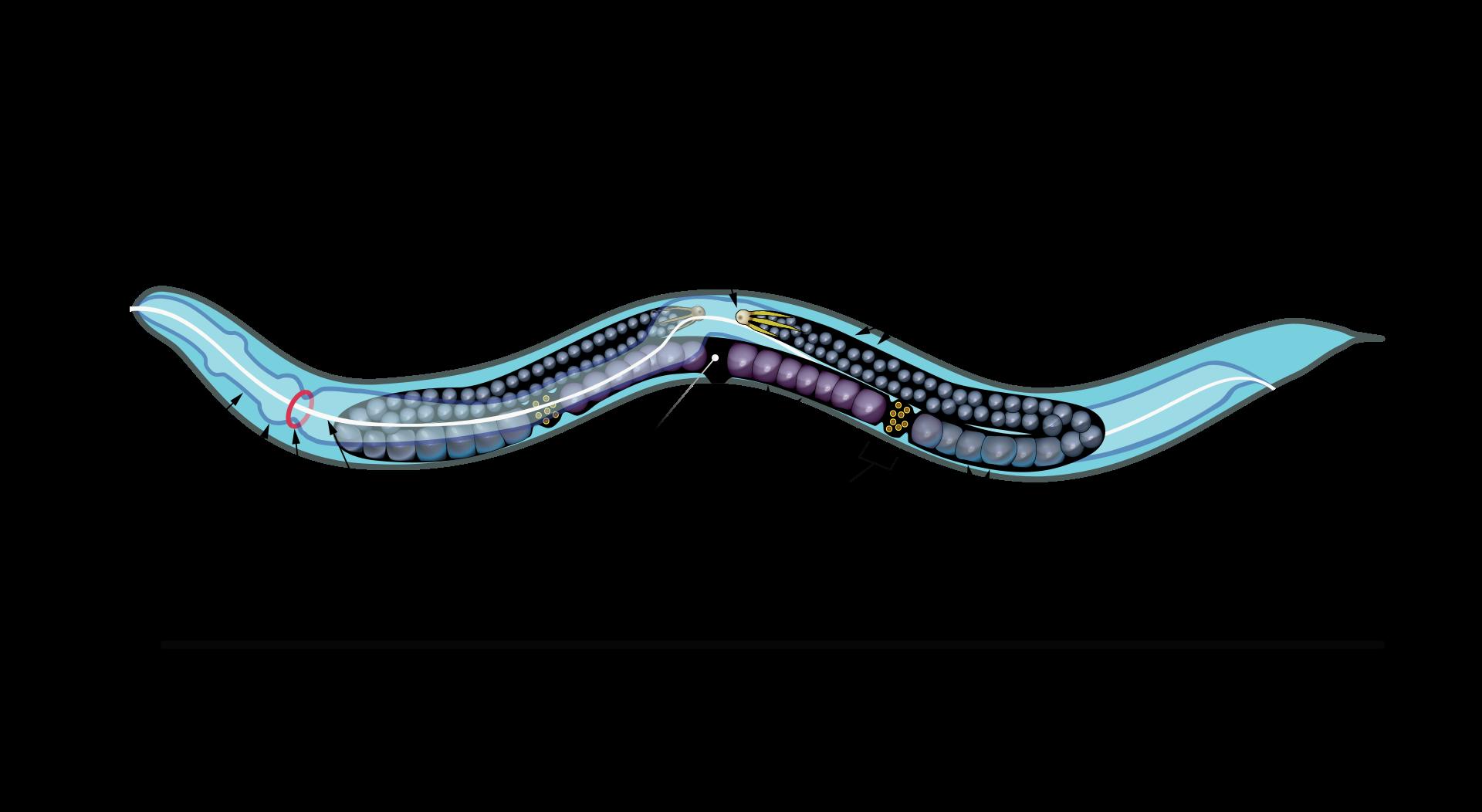 A Caenorhabditis elegansegyfonálféreg(nagyon változatos féregcsoport), csak egy milliméter hosszú, ám az egyik legfontosabb állat a tudomány számára.