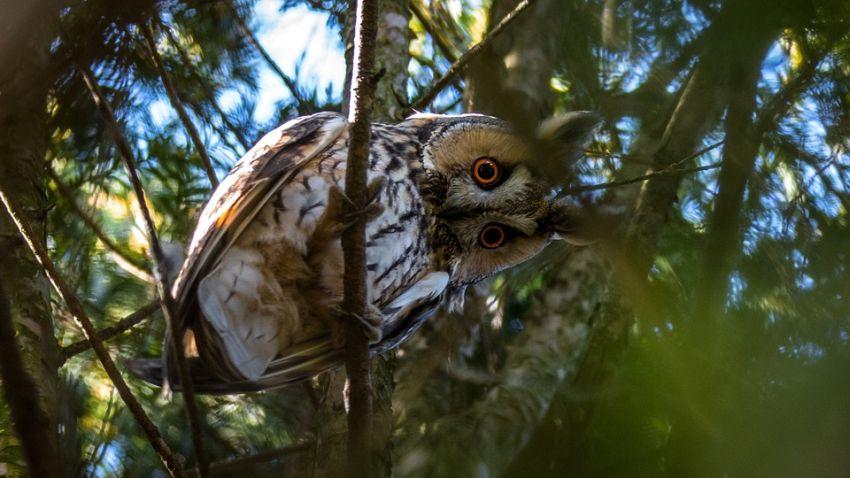 A 2020. év madara az erdei fülesbagoly