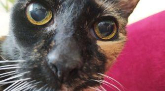 Koronavírus. A macskafajták is veszélyeztetettek?