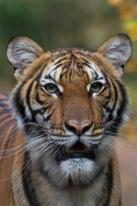 A minisztérium közleménye szerint egy tigrist (Nadia) vizsgáltak meg, mert szárazon köhögött és étvágytalan volt.