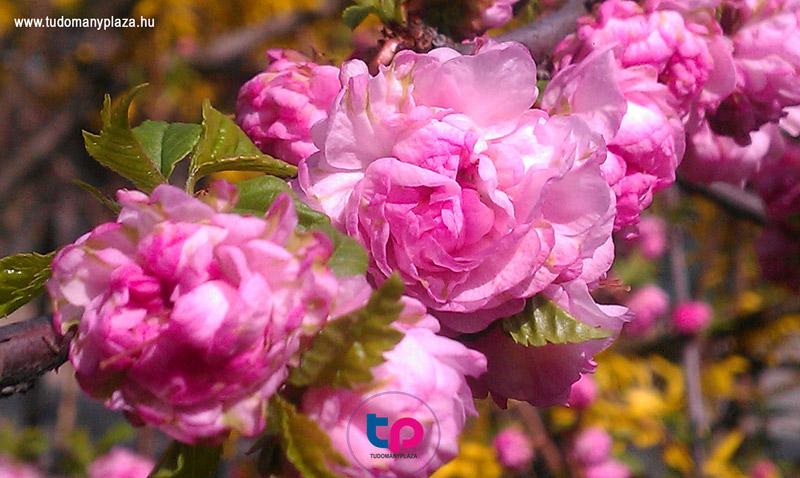 Babarózsa, pünkösdi rózsa, bazsarózsa? Melyik az?