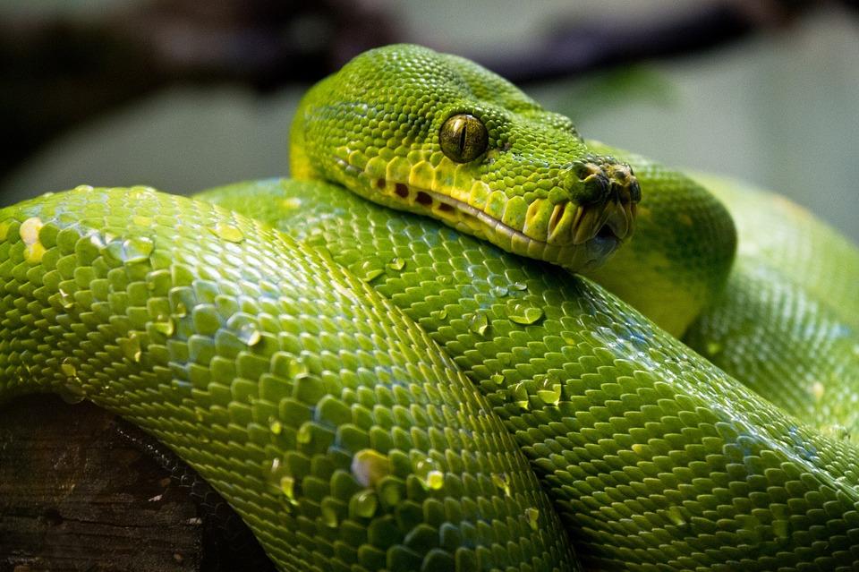A kígyók ugyanis nemcsak látnak, de egy speciális szervükkel a hőt is érzékelik.