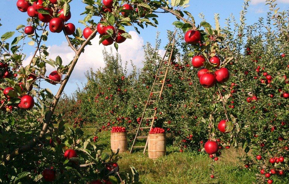 Az almakártevők szabályozása és a vadászpókok