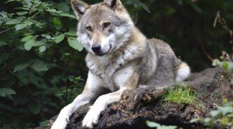 A farkasok és kutyák viselkedése