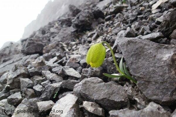 Fritillaria delavayi - Ember és növény találkozása az evolúciós hadszintéren
