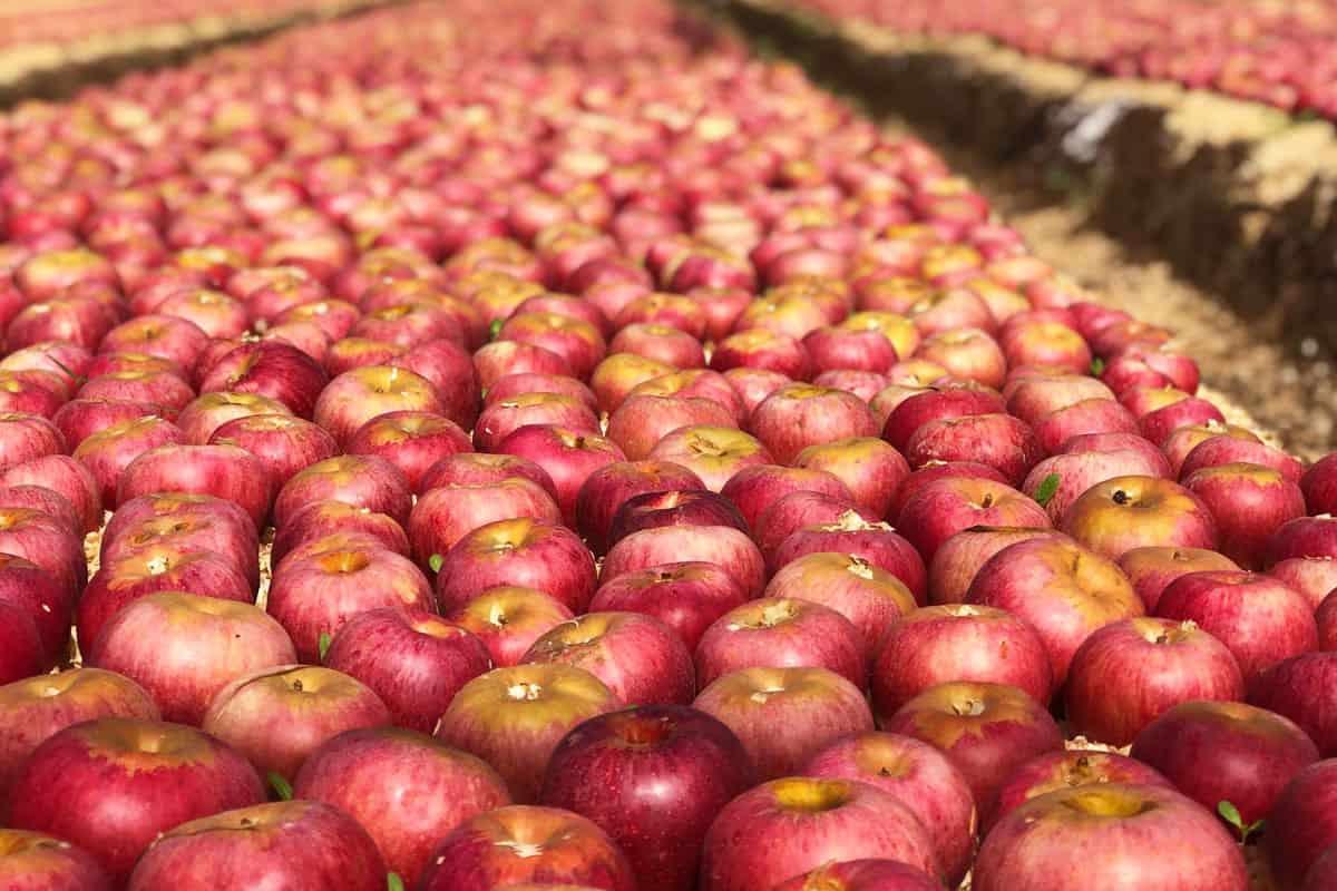 Az olasz Annurca alma kiváló szalmabor készítéséhez.