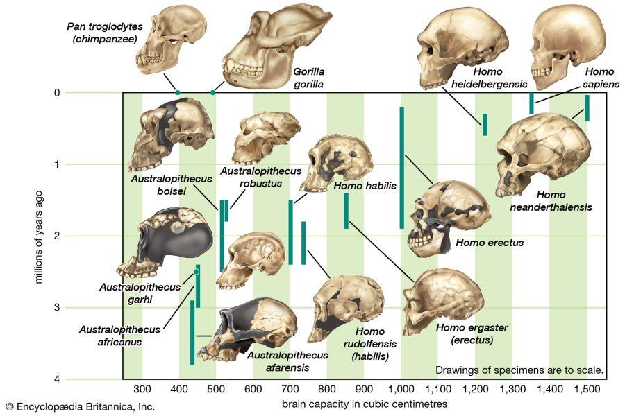 A Homo fejlődési vonal állomásai és agykapacitásaik. X-tengelyen az évmilliók, Y-tengelyen az agykapacitás cm3-ben. Forrás: Britannica Encyclopaedia